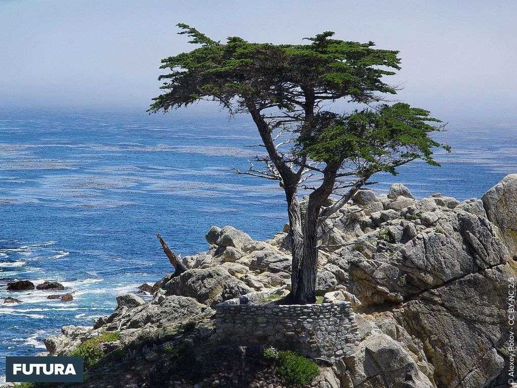 Cyprès de Lambert ou de Monterey endémique - Californie