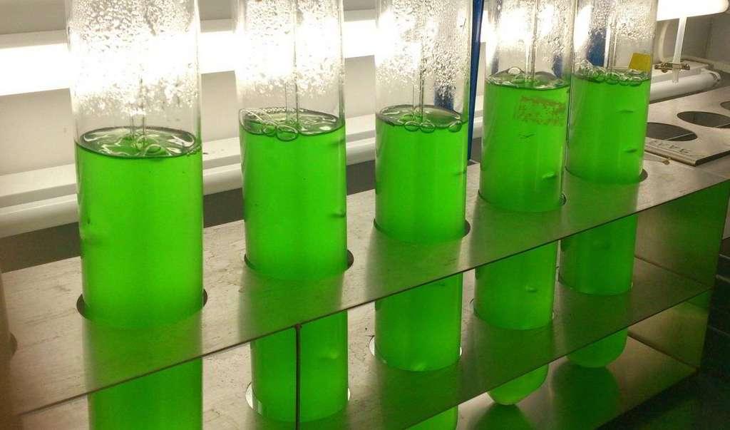 La nouvelle molécule de sucre a été découverte dans une cyanobactérie, Synechococcus elongatus. © Université de Tübingen