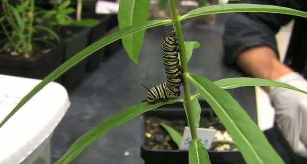 La chenille infectée du papillon monarque se nourrit aléatoirement d'asclépiades toxiques ou non. © Université Emory