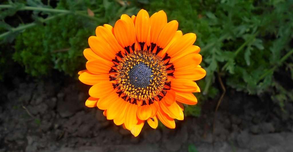 Arctotis fastuosa, une couleur éclatante. © Salicyna, CC by-sa 4.0