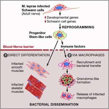 Ce schéma, issu de la publication, reprend le processus infectieux de M. leprae. Après infection des cellules de Schwann (première étape, en haut), les bactéries les reprogramment pour en faire des cellules souches (progenitor stem-like cells). Soit elles se différencient directement (en muscle lisse ou en muscle squelettique), soit elle choisit de recruter des macrophages (cellules de l'immunité) qui vont se regrouper puis être relâchés après infection. © Masaki et al., Cell