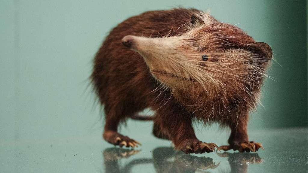 Un cousin du « meurtrier de l'île », Nesophontes, grand mangeur d'insectes. Une espèce de mammifères des Caraïbes, éteinte parmi des dizaines d'autres. © Natural History Museum (Londres)