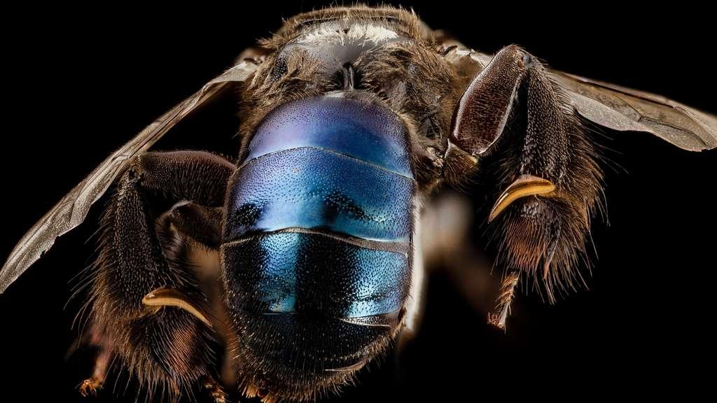 Ctenoplectra, une abeille de Thaïlande