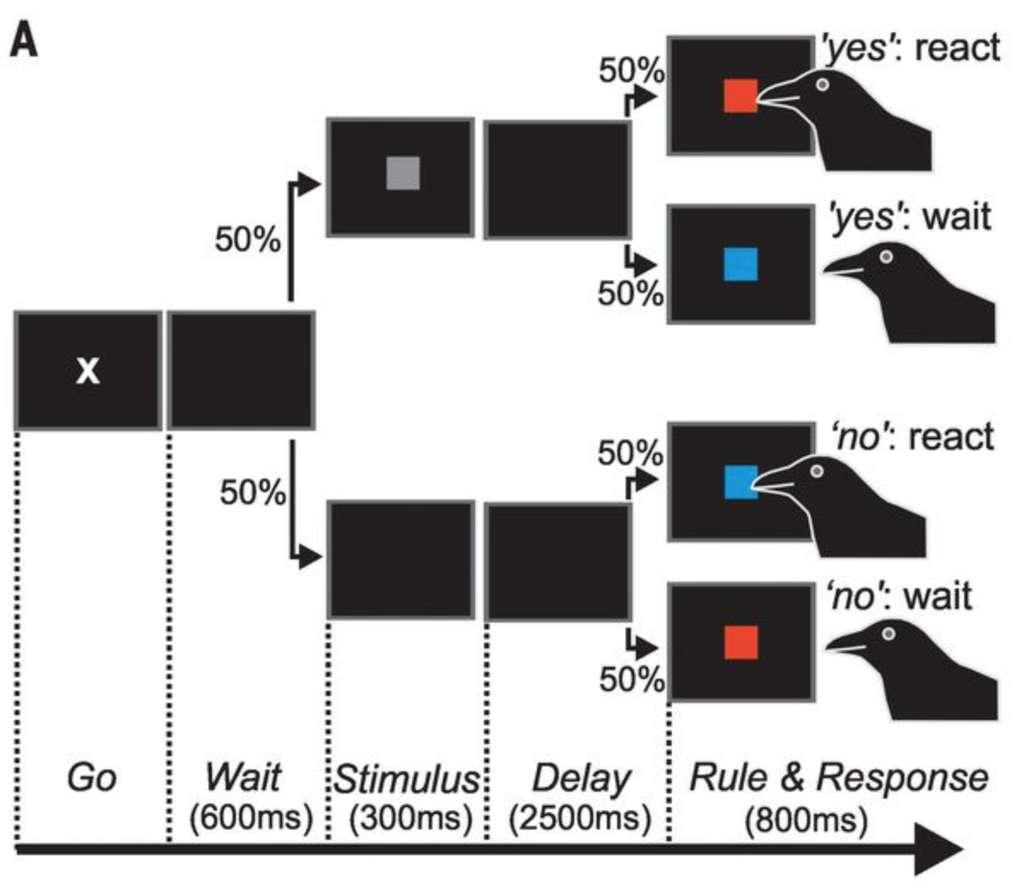 L'expérience menée sur les deux corneilles. Elles sont d'abord soumises à un premier stimulus puis après un temps de latence, une règle (rouge ou bleu) leur dicte le comportement attendu. Elles réagissent en bougeant la tête. © Andreas Nieder et al. Science