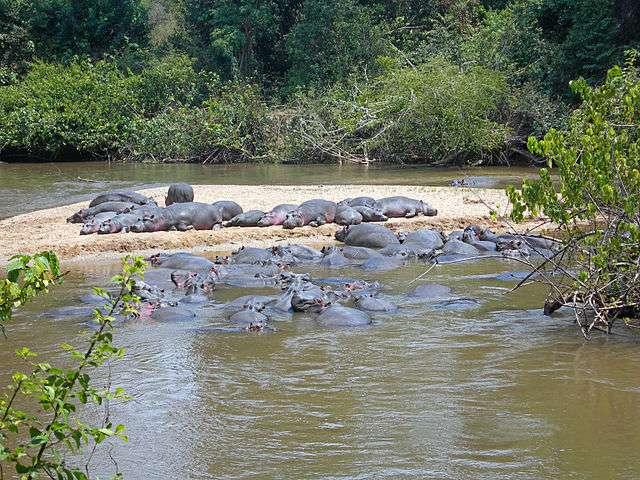 Les hippopotames figurent parmi les premiers grands mammifères dont les ancêtres ont colonisé le continent africain à la nage, bien avant ceux des grands carnivores, des girafes ou des rhinocéros qui migrèrent par voie terrestre. © Vogelfreund, Wikimedia Commons, cc by sa 4.0
