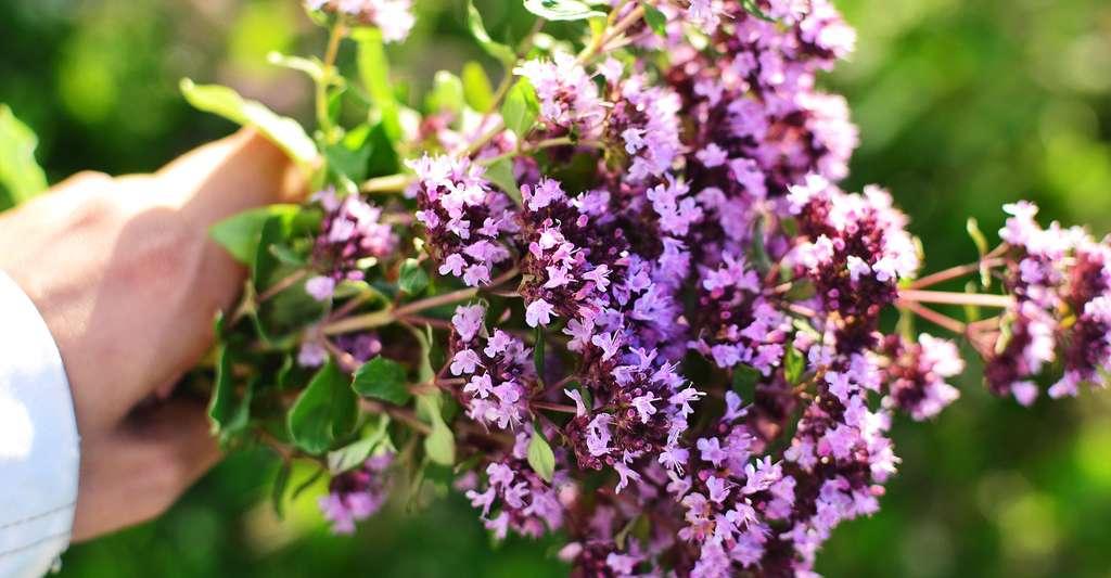 Fleurs d'origan. © Lidiia Gainetdinova, Shutterstock