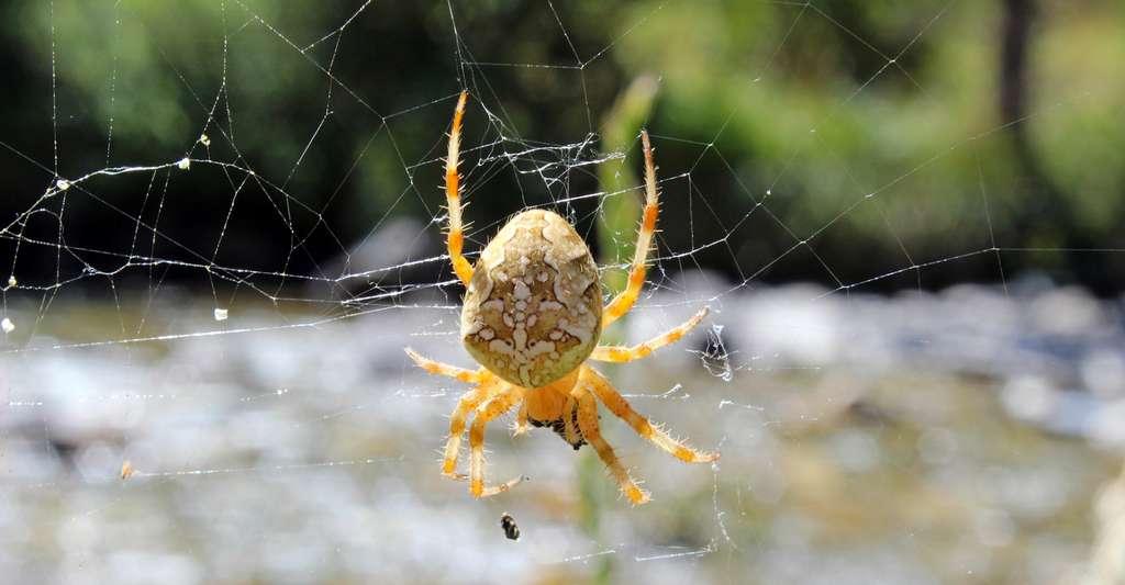 Selon une étude réalisée par des chercheurs de l'université de Regensburg (Allemagne), l'évolution a appris aux malmignattes des maisons à tirer profit de la pollution lumineuse. D'autres araignées n'ont pas cette chance. Des études montrent que leur espérance de vie peut s'en voir réduite. © mmadrigal70, Fotolia