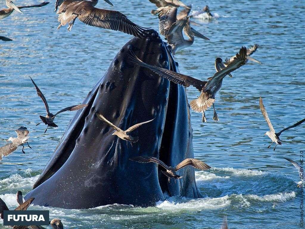 Baleine à bosse Megaptera novaeangliae