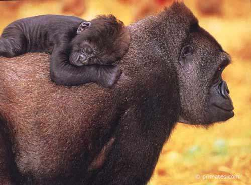 Gorille et son bébé