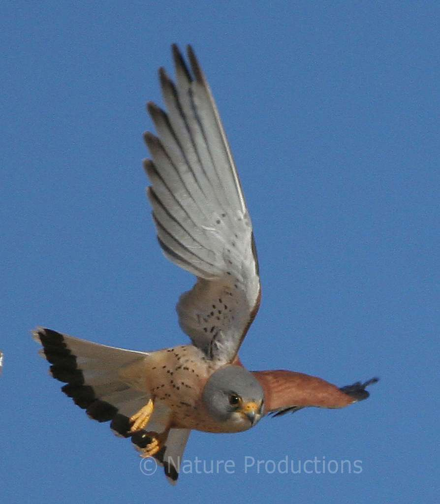 La tête figée dans le ciel, le faucon crécerellette pratique le vol stationnaire « Saint-Esprit » pour localiser ses proies. © G. Bentz, DR