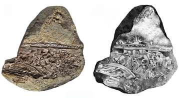 Embryon de mésosaure du Permien inférieur, issu de la formation de Mangrullo en Uruguay, dans un œuf. Photo du spécimen à gauche et dessin d'interprétation à droite. © Graciela Piñeiro (à gauche) et Inés Castiglioni (à droite)