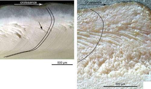 Vue en coupe et au microscope optique d'une section de coquille de Protothaca thaca (Pérou-Chili). Sur les 2 photographies, on voit clairement des traits arrondis (plus sombres à gauche et plus clairs à droite): ce sont des stries de croissance (soulignées en noir) qui montrent l'élaboration de la coquille au cours du temps. © C. E. Lazareth, IRD. Reproduction et utilisation interdites