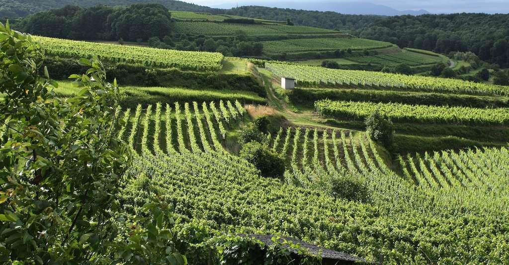 La côte de la Madone est un cru célèbre de Fleurie dans le Beaujolais. Le sol consiste en du granite rose désagrégé en pierraille, un terroir qui convient parfaitement au cépage gamay. Le terroir français est une chance pour le vin. © Geralt CC0, Domaine public