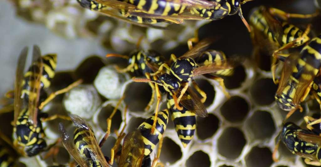 Un nid de guêpes peut contenir de quelques dizaines à plusieurs milliers d'individus. © Leonid Eremeychuk, Fotolia