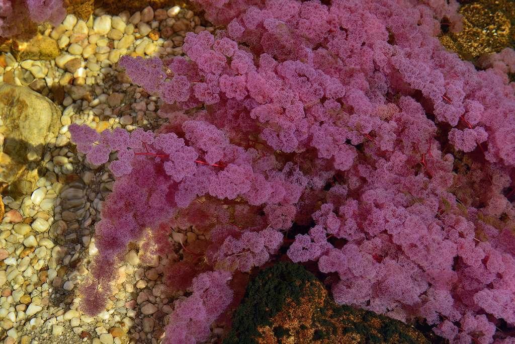 Caño Cristales : quand Macarenia clavigera change de couleur