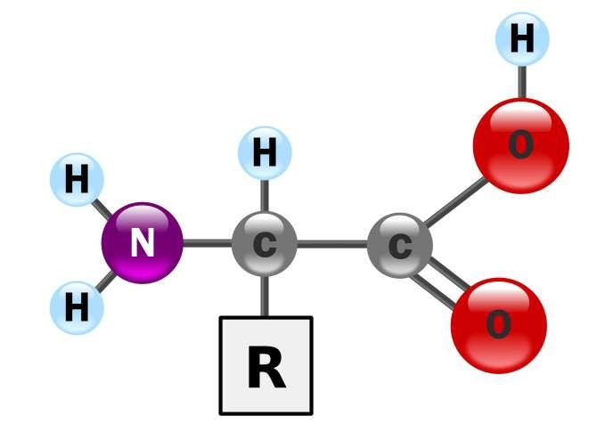 Les acides aminés sont des ampholytes : ils possèdent à la fois un groupe aminé -NH2 qui est basique et un groupe carboxylique -COOH qui est acide. © Wikipedia