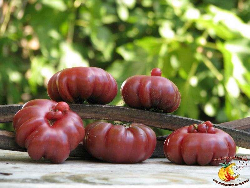 La tomate Purple Calabash est beaucoup cultivée pour la qualité de sa chair. © Tomodori