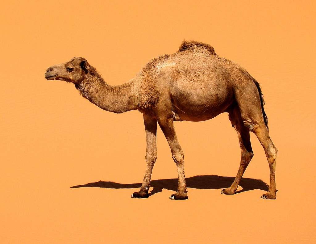 La diversité génétique des MERS-CoV retrouvés chez le dromadaire confirme les autres études qui précisent que le virus passe du camélidé à l'Homme et non l'inverse, surtout que les cas humains sont bien plus rares. © Bjørn Christian Tørrissen, Wikipédia, cc by sa 3.0