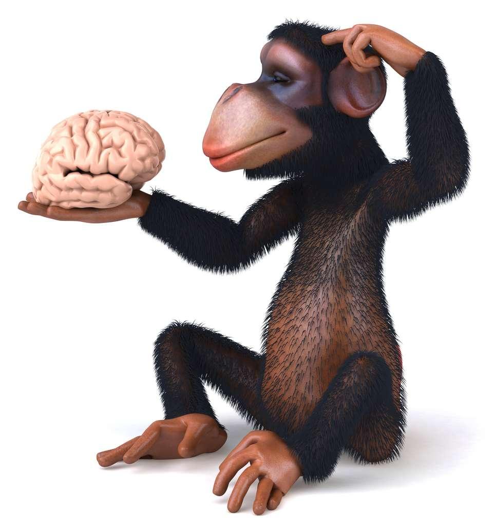 « Dans l'ensemble, nos études convergent pour démontrer un niveau surprenant de similitude dans la structure et le développement du cerveau entre les humains et les autres primates étudiés », indique Christine Charvet. © Julien Tromeur, Adobe Stock