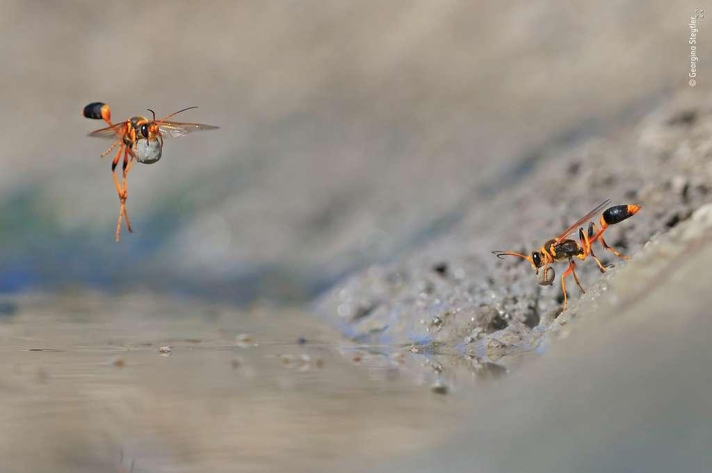 Pour photographier les guêpes, l'Australienne s'est allongée dans la boue que ces insectes prélèvent méticuleusement pour construire un nid. © Georgina Steytler