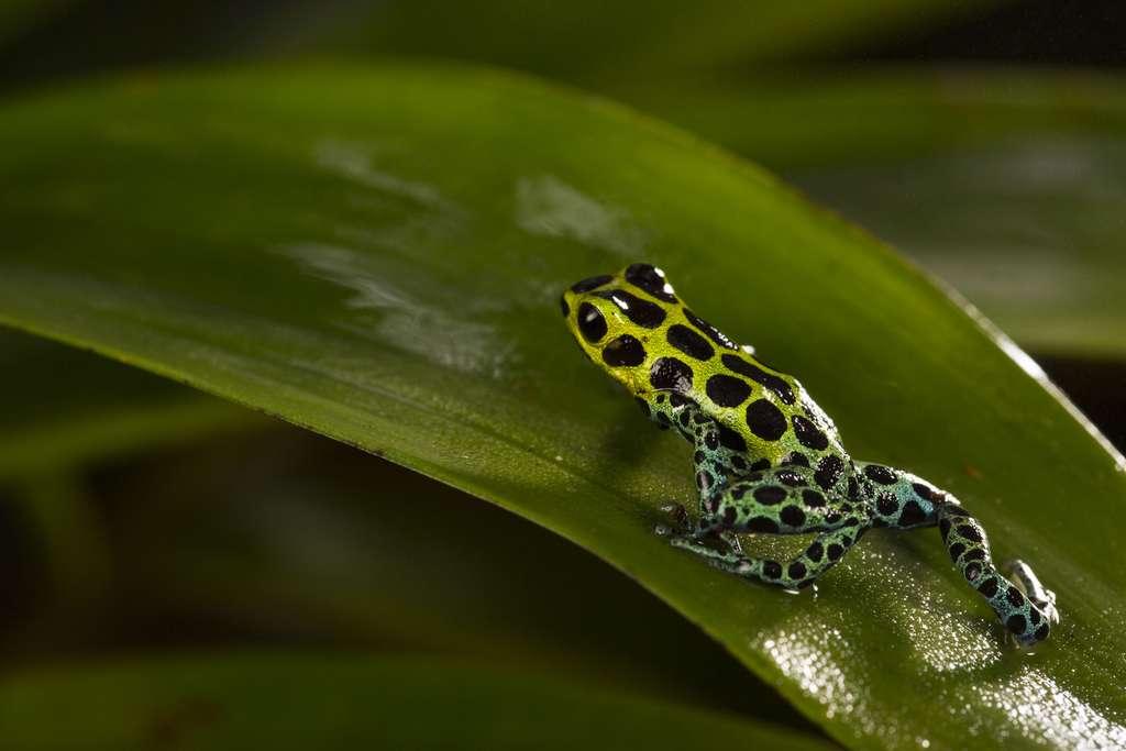 Ranitomeya variabilis, un amphibien d'Amazonie