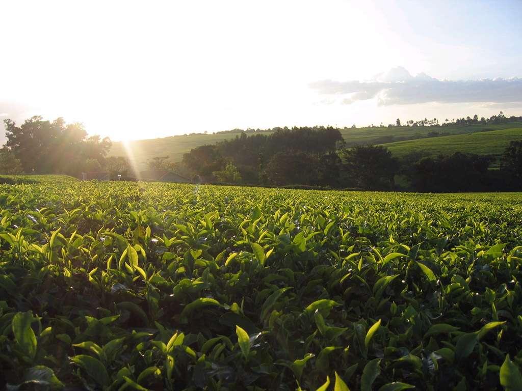 Coucher de soleil dans une plantation de thé