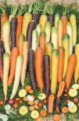L'homme a tiré profit de plantes sauvages pour créer une diversité alimentaire. Exemple de diversité variétale en carotte © GNIS