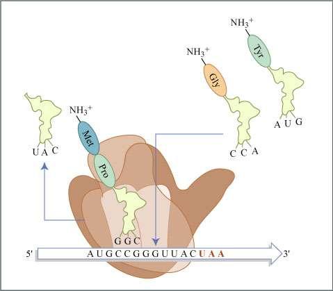 Lors de la traduction de l'ARN, le ribosome associe un acide aminé à chaque codon (triplet de nucléotides). © MIT OpenCourseWare, Flickr, CC by-nc-sa 4.0