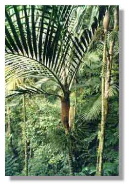 Le palmier Burretokentia vieillardii © J.J. Espirat