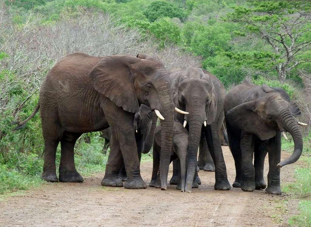Mâles et femelles protègent les petits. Réserve d'Hluhluwe-Umfolozi, Afrique du Sud. © Wayne77, Wikimedia Commons by-sa 3.0