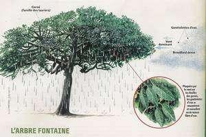 Cliquez sur l'image pour agrandir Dessin montrant le fonctionnement de l'arbre fontaine de El Hierro qui fut arraché par le vent en 1610 dans la localité de Tiñor où il fut replanté avec succès vers 1948 (schéma A. Gioda pour Pierre Lefèvre et Science & Vie Junior, mai 2003).