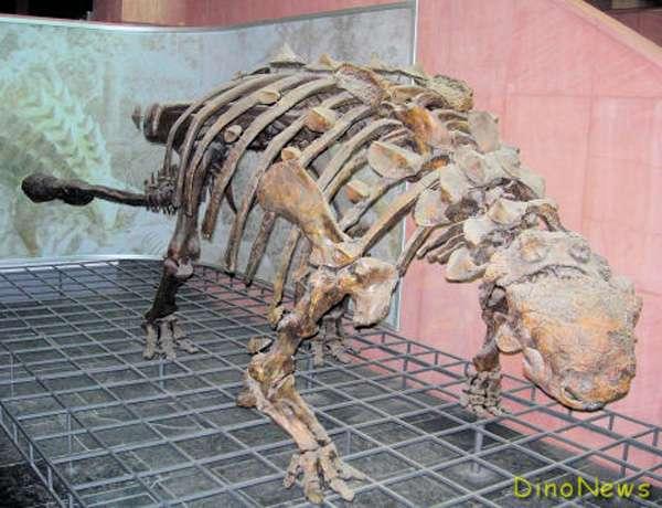 Squelette d'ankylosaure