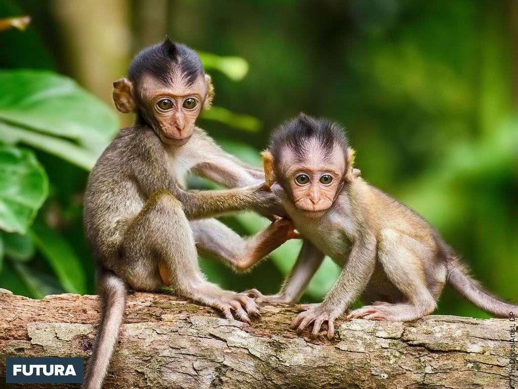 Les jeunes singes sont de vrais funambules, toujours attentifs