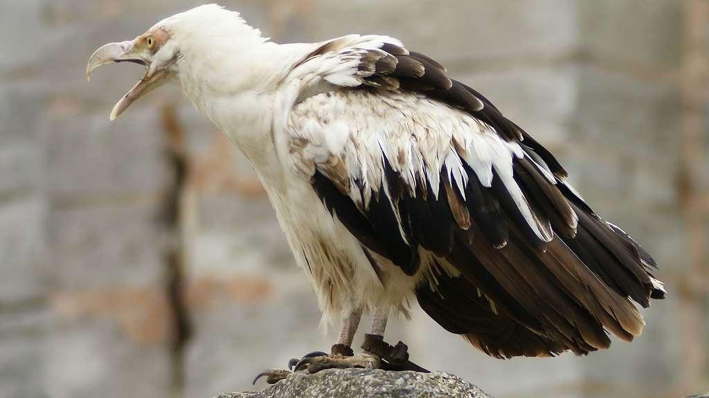 Le palmiste africain, un vautour du genre Gypohierax