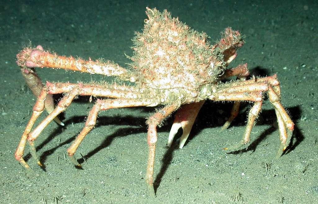 Ce sont ses longues pattes qui valent son nom à l'araignée de mer. © tpsdave, Pixabay, CC0 Public Domain