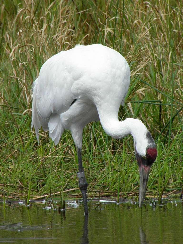 Grue blanche en quête d'un repas. © animaltourism.com, CC BY-NC-ND 2.0