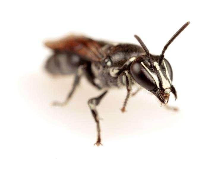 Des chercheurs de l'université de Flinders (Australie) ont retrouvé une abeille endémique australienne qu'ils pensaient disparue. © James Dorey, Université Flinders