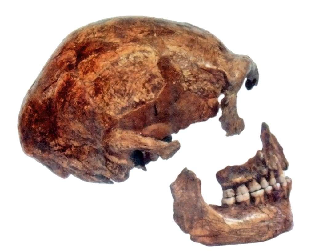Des outils ont été attribués à l'Homme de Néandertal. Le signe d'un certain développement cognitif. Mais si Néandertal — ici des morceaux de l'Homme de Spy 2, découvert en 1886 — a disparu d'Europe aussi tôt, l'histoire devra peut-être être réécrite. © We El, Wikipedia, CC by-SA 3.0