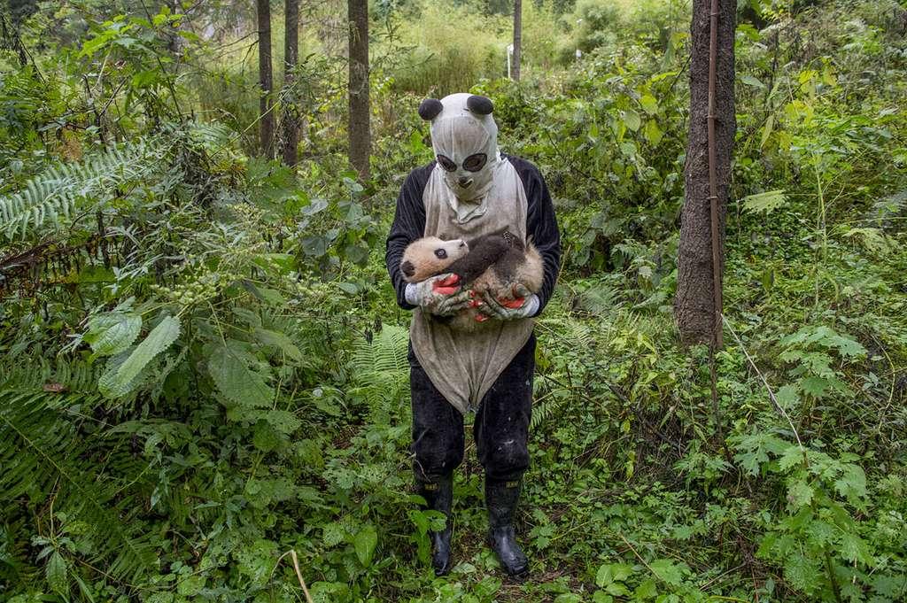 Réintroduction de bébés panda dans leur habitat naturel. © Ami Vitale, tous droits réservés