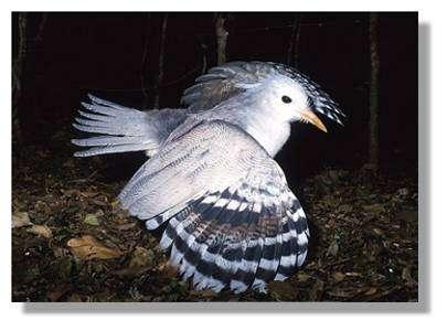 Le Cagou (Rhynochetus jubatus)