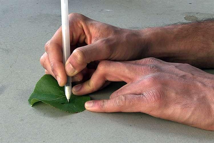 La bio-encre des chercheurs américains peut aussi être déposée à l'aide d'un stylo sur une feuille d'arbre. En théorie, on pourrait détecter de cette façon la présence de polluants. © UCSD