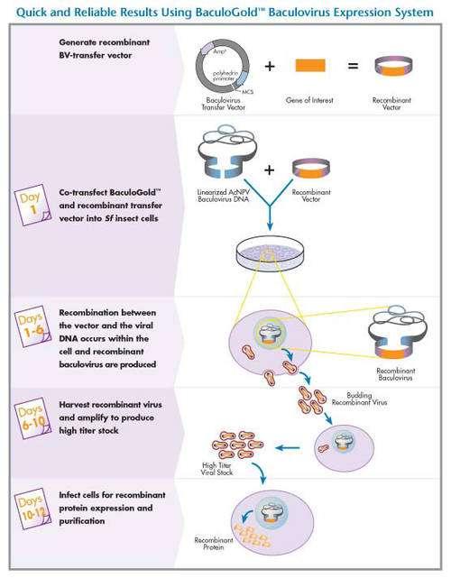 Système d'expression de protéines recombinantes type baculovirus/cellules d'insectes. © 2005 BD Biosciences