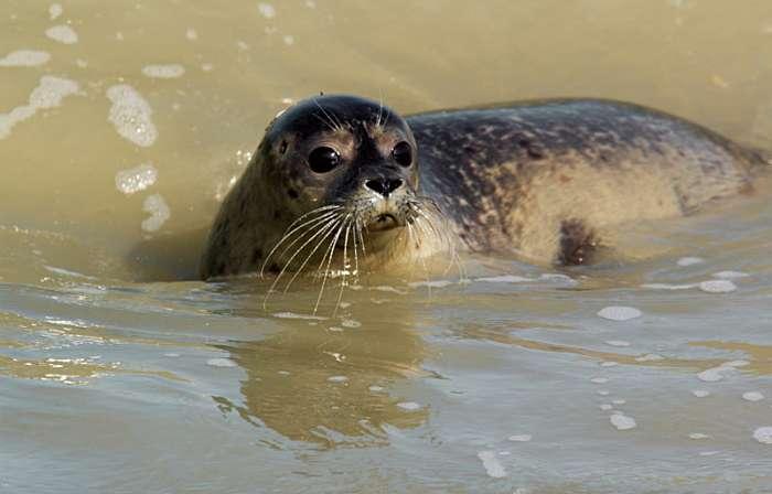 Mieux vaut être accompagné d'un guide pour approcher les phoques dans la baie de Somme : les sables mouvants sont légion. © Xavier D., Wikimedia Commons, CC by-sa 3.0