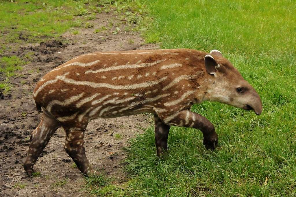 Tapir terrestre juvénile et ses rayures caractéristiques. © Joachim S. Müller, Flickr, cc by nc sa 2.0
