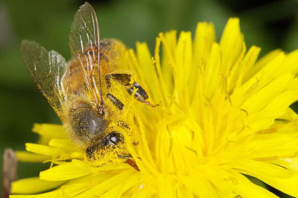 Le pollen est l'unique source de protéines pour les abeilles, il est absolument vital. © JR Guillaumin, Flickr, cc by sa 2.0