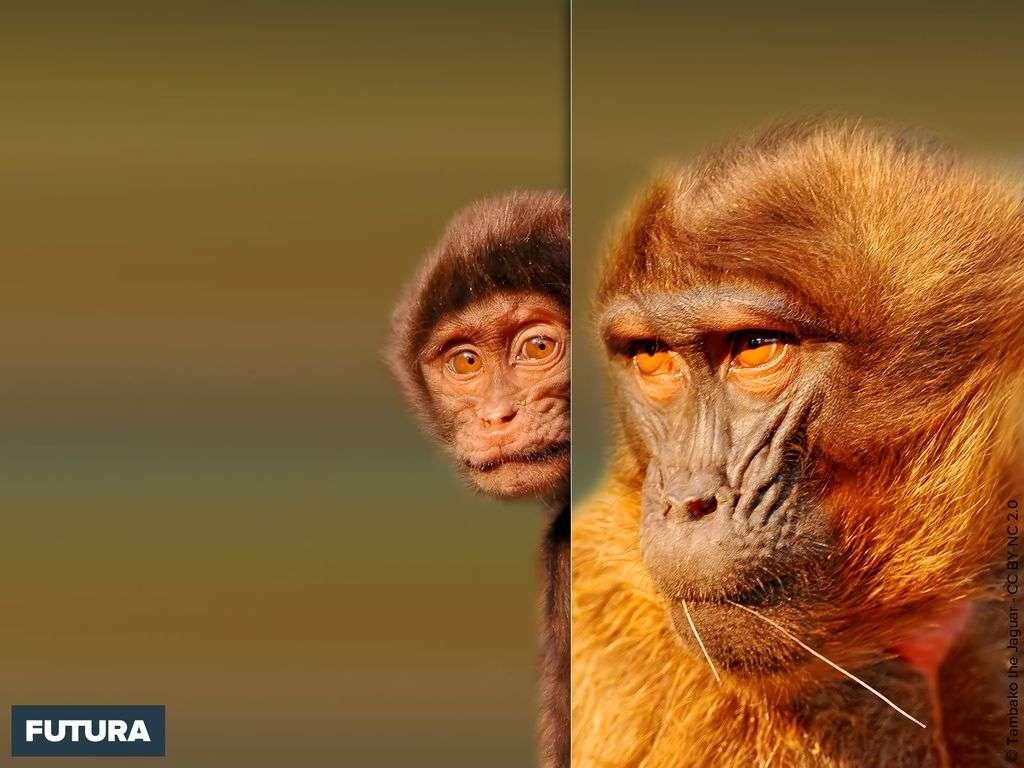 Gélada ou singe lion - Theropithecus gelada