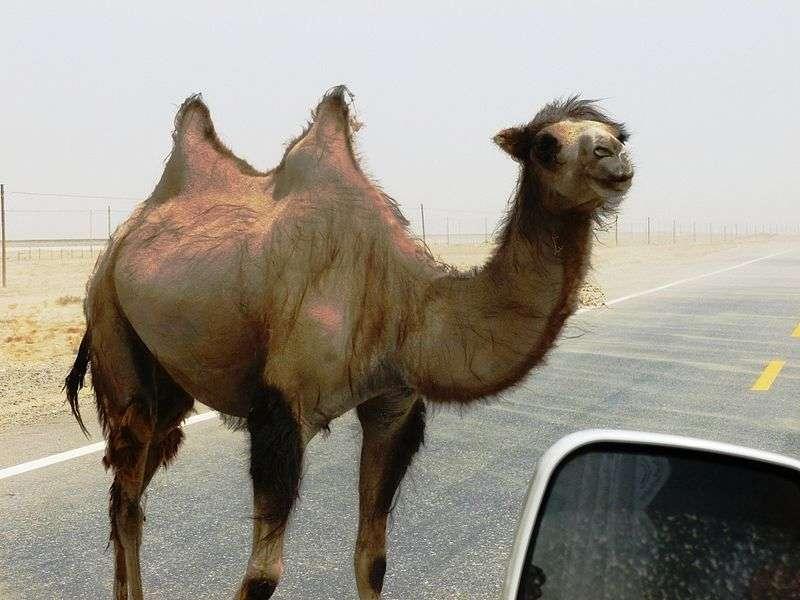 Chameau sauvage dans le désert de Yarkand en Chine. © John Hill, Wikipédia, GFDL Version 1.2