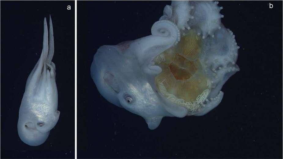 Le poulpe retient entre ses tentacules les restes d'une méduse, de couleur jaune (visible sur l'image de droite). Il n'a donc mangé que la partie centrale du cnidaire, conservant sur lui la couronne de filaments urticants, blanchâtres. © H. J. T. Hoving et S. H. D. Haddock, Nature