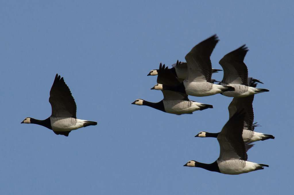 Une troupe de bernaches nonnettes en vol. © Larsfl, Flickr, cc by nc sa 2.0