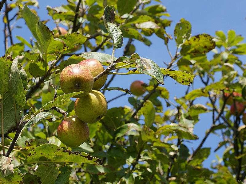 Les fruits du pommier sauvage. © Hans Hillewaert, Wikipédia, CC 3.0 unported